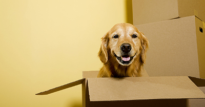 dog in a moving box- moving to CR or IC